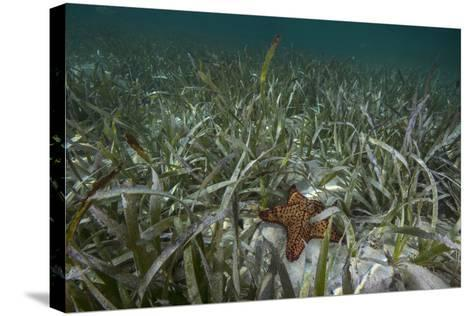 A Sea Star in Seagrass Beds in Gardens of the Queen-David Doubilet-Stretched Canvas Print