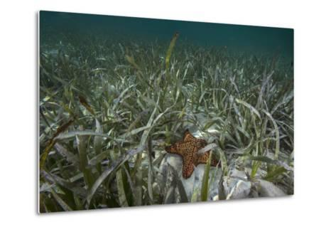 A Sea Star in Seagrass Beds in Gardens of the Queen-David Doubilet-Metal Print