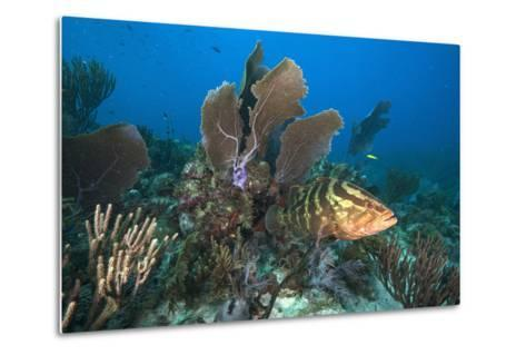 A Nassau Grouper Swims in the Rich Coral Reefs of Gardens of the Queen-David Doubilet-Metal Print