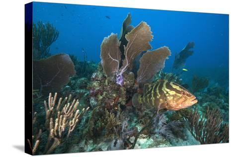 A Nassau Grouper Swims in the Rich Coral Reefs of Gardens of the Queen-David Doubilet-Stretched Canvas Print