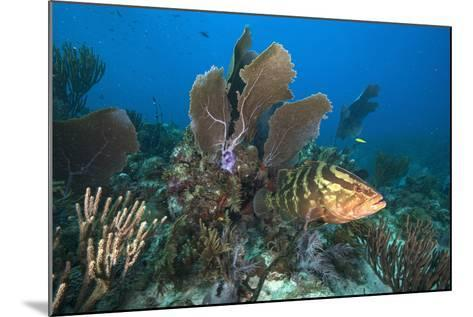 A Nassau Grouper Swims in the Rich Coral Reefs of Gardens of the Queen-David Doubilet-Mounted Photographic Print