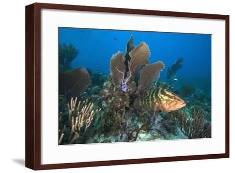 A Nassau Grouper Swims in the Rich Coral Reefs of Gardens of the Queen-David Doubilet-Framed Art Print