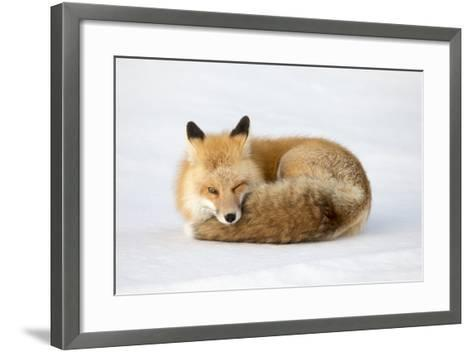 A Red Fox, Vulpes Vulpes, Curled Up on the Snow-Robbie George-Framed Art Print