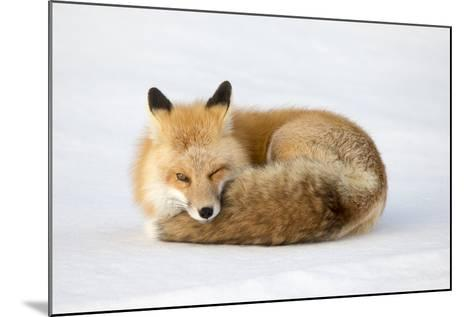 A Red Fox, Vulpes Vulpes, Curled Up on the Snow-Robbie George-Mounted Photographic Print