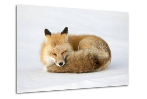 A Red Fox, Vulpes Vulpes, Curled Up on the Snow-Robbie George-Metal Print