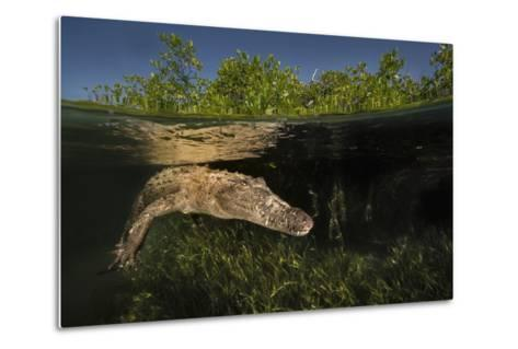 A Submerged American Crocodile, Crocodiles Acutus, Swims Above a Bed of Turtle Grass-David Doubilet-Metal Print