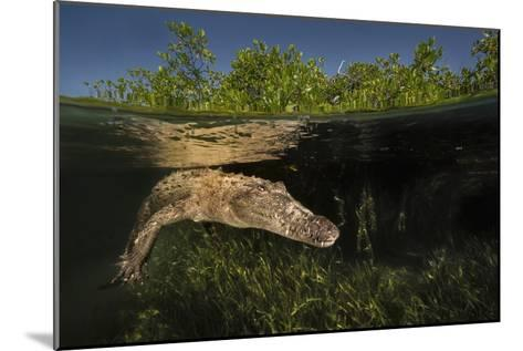 A Submerged American Crocodile, Crocodiles Acutus, Swims Above a Bed of Turtle Grass-David Doubilet-Mounted Photographic Print