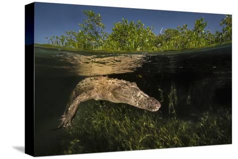 A Submerged American Crocodile, Crocodiles Acutus, Swims Above a Bed of Turtle Grass-David Doubilet-Stretched Canvas Print