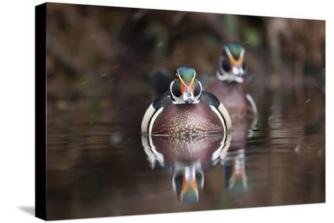 A Determined Male Wood Duck, Aix Sponsa, Moves Forward-Robbie George-Stretched Canvas Print