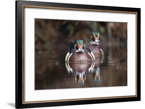 A Determined Male Wood Duck, Aix Sponsa, Moves Forward-Robbie George-Framed Art Print