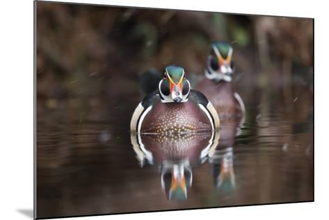A Determined Male Wood Duck, Aix Sponsa, Moves Forward-Robbie George-Mounted Photographic Print