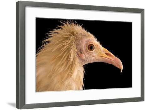 An Egyptian Vulture at Parco Natura Viva, in Bussolengo, Italy-Joel Sartore-Framed Art Print