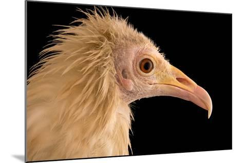An Egyptian Vulture at Parco Natura Viva, in Bussolengo, Italy-Joel Sartore-Mounted Photographic Print
