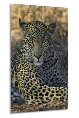 A Leopard Rests in South Africa's Timbavati Game Reserve-Steve Winter-Metal Print