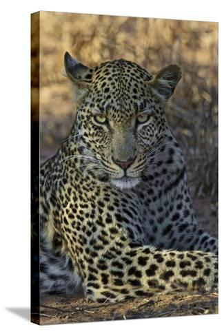 A Leopard Rests in South Africa's Timbavati Game Reserve-Steve Winter-Stretched Canvas Print