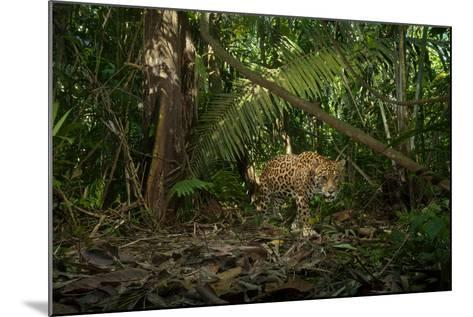 A Jaguar on the Hunt Trips a Camera Trap-Steve Winter-Mounted Photographic Print
