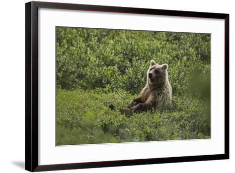 A Grizzly Bear Sitting in Denali National Park and Preserve-Aaron Huey-Framed Art Print