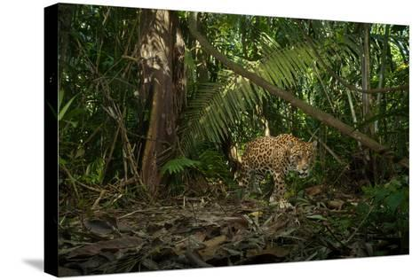 A Jaguar on the Hunt Trips a Camera Trap-Steve Winter-Stretched Canvas Print
