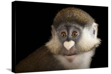 A Schmidt's Red Tailed Guenon, Cercopithecus Ascanius, at the Houston Zoo-Joel Sartore-Stretched Canvas Print