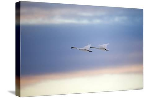 A Trumpeter Swan, Cygnus Buccinator, Calls Out While Flying with its Partner-Robbie George-Stretched Canvas Print