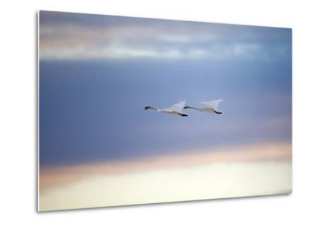 A Trumpeter Swan, Cygnus Buccinator, Calls Out While Flying with its Partner-Robbie George-Metal Print