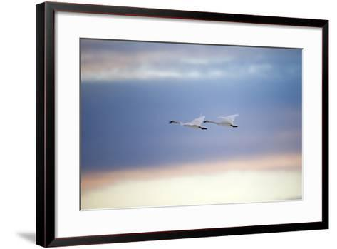 A Trumpeter Swan, Cygnus Buccinator, Calls Out While Flying with its Partner-Robbie George-Framed Art Print