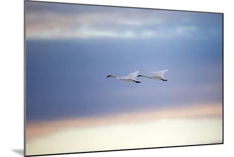 A Trumpeter Swan, Cygnus Buccinator, Calls Out While Flying with its Partner-Robbie George-Mounted Photographic Print