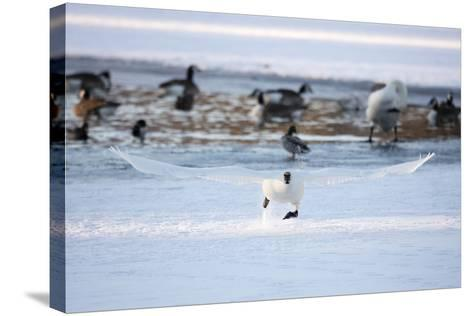A Trumpeter Swan, Cygnus Buccinator, Takes Off at a Run to Ascend into Flight-Robbie George-Stretched Canvas Print