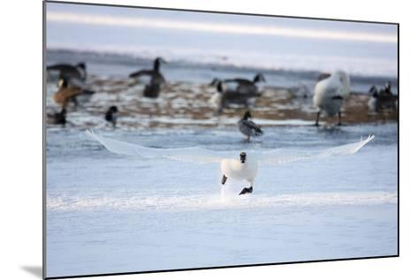 A Trumpeter Swan, Cygnus Buccinator, Takes Off at a Run to Ascend into Flight-Robbie George-Mounted Photographic Print