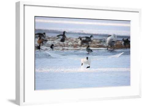 A Trumpeter Swan, Cygnus Buccinator, Takes Off at a Run to Ascend into Flight-Robbie George-Framed Art Print