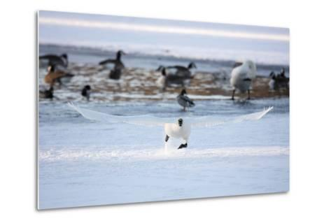 A Trumpeter Swan, Cygnus Buccinator, Takes Off at a Run to Ascend into Flight-Robbie George-Metal Print