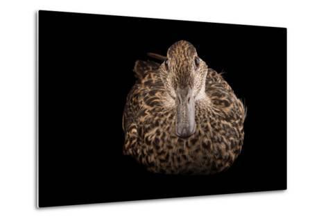An Eurasian Green Winged Teal, Anas Crecca, at the Sylvan Heights Bird Park-Joel Sartore-Metal Print