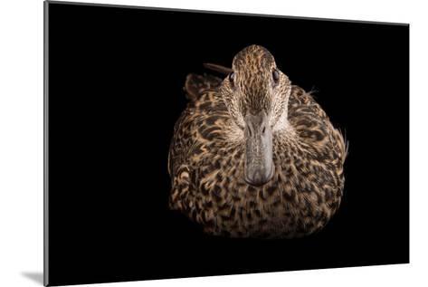 An Eurasian Green Winged Teal, Anas Crecca, at the Sylvan Heights Bird Park-Joel Sartore-Mounted Photographic Print