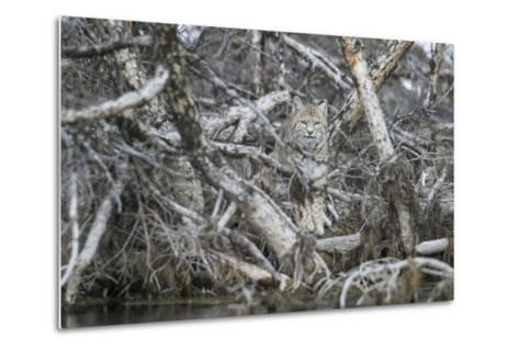 A Bobcat Has Perfect Camouflage as it Sits in a Fallen Tree-Barrett Hedges-Metal Print