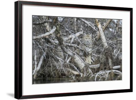 A Bobcat Has Perfect Camouflage as it Sits in a Fallen Tree-Barrett Hedges-Framed Art Print