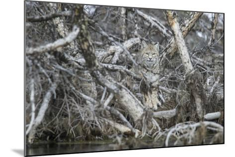 A Bobcat Has Perfect Camouflage as it Sits in a Fallen Tree-Barrett Hedges-Mounted Photographic Print