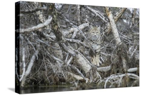 A Bobcat Has Perfect Camouflage as it Sits in a Fallen Tree-Barrett Hedges-Stretched Canvas Print