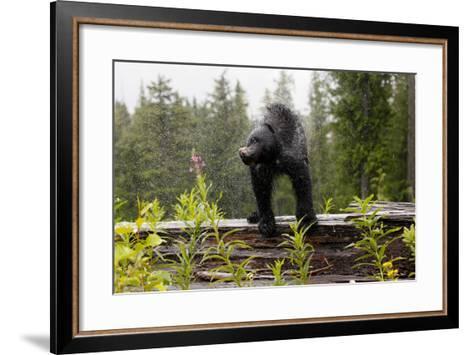 A Black Bear, Ursus Americanus, Shakes Water Off Himself-Jill Schneider-Framed Art Print