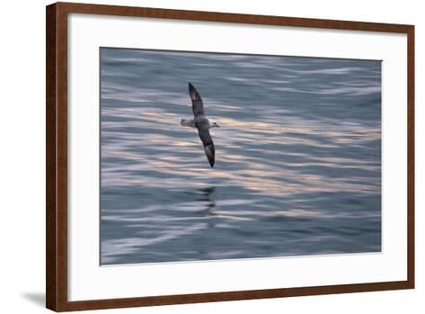 A Northern Fulmar, Fulmarus Glacialis, Flying over Iceland's North Atlantic-Michael Melford-Framed Art Print
