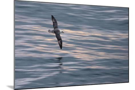 A Northern Fulmar, Fulmarus Glacialis, Flying over Iceland's North Atlantic-Michael Melford-Mounted Photographic Print