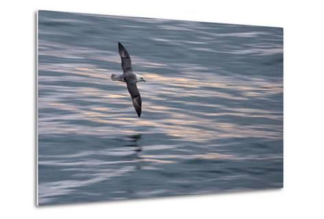 A Northern Fulmar, Fulmarus Glacialis, Flying over Iceland's North Atlantic-Michael Melford-Metal Print