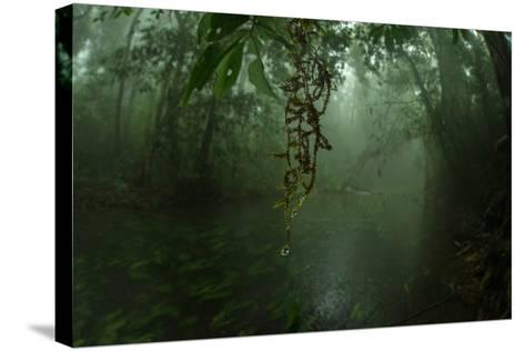 Water Drips Off Vines in a Rainforest-Prasenjeet Yadav-Stretched Canvas Print
