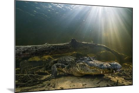An American Alligator Waits for Prey at the Bottom of a Cypress Swamp-Keith Ladzinski-Mounted Photographic Print