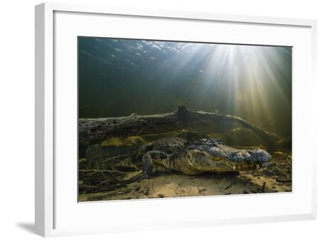 An American Alligator Waits for Prey at the Bottom of a Cypress Swamp-Keith Ladzinski-Framed Art Print