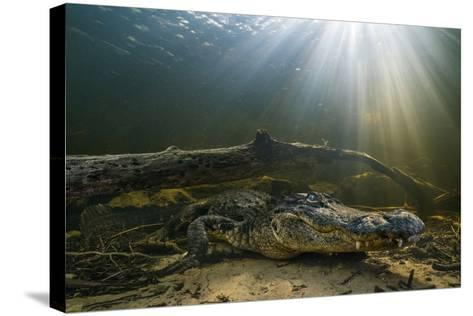 An American Alligator Waits for Prey at the Bottom of a Cypress Swamp-Keith Ladzinski-Stretched Canvas Print