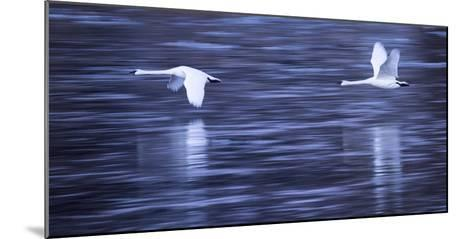 Tundra Swans in Flight Above the Mississippi River in Monticello, Minnesota-Michael Melford-Mounted Photographic Print
