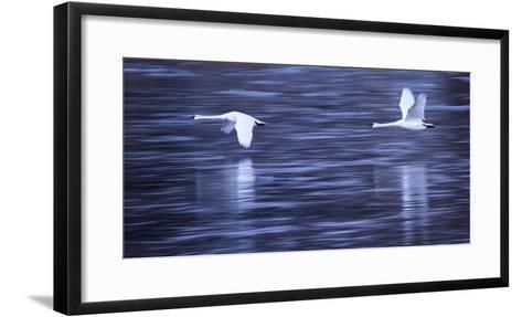 Tundra Swans in Flight Above the Mississippi River in Monticello, Minnesota-Michael Melford-Framed Art Print