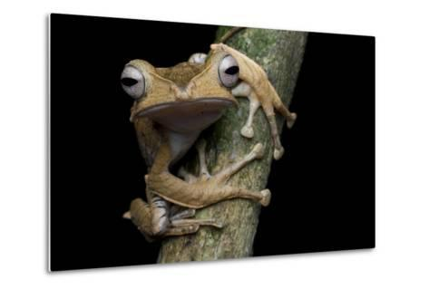 A Borneo Eared Frog, Polypedates Otilophus, Rests on a Tree Branch-Robin Moore-Metal Print