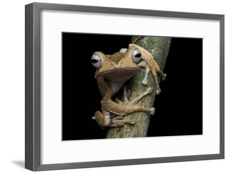 A Borneo Eared Frog, Polypedates Otilophus, Rests on a Tree Branch-Robin Moore-Framed Art Print