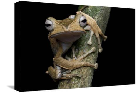 A Borneo Eared Frog, Polypedates Otilophus, Rests on a Tree Branch-Robin Moore-Stretched Canvas Print